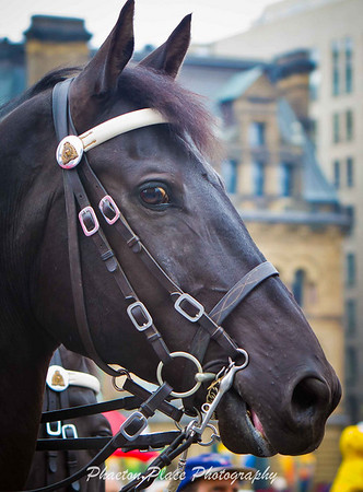 Royal Canadian Mounted Police Horse Profile