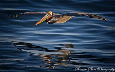 Brown Pelican Soaring Above Water