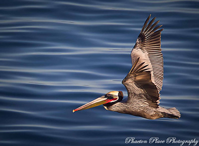 Pelican Flying
