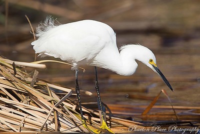 Snowy Egret - Adult Male