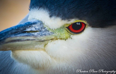 Night Heron Closeup