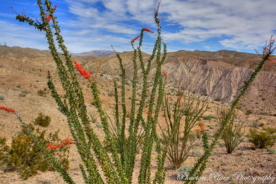 Octillo Cactus and Painted Canyon