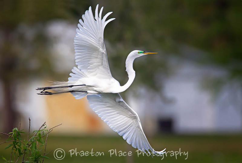 Great Egret with Full Wing Span